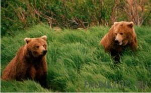 Правда ли, что медведь неуклюж?