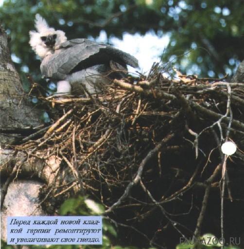 Размножение большой гарпии
