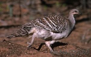 Размножение глазчатой курицы