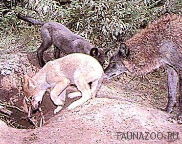 Родственники оберегают волчат