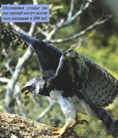 Среда обитания большой гарпии
