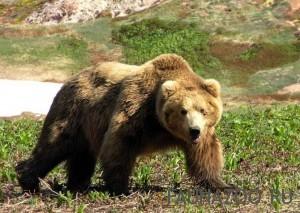 Какой характер у медведя?