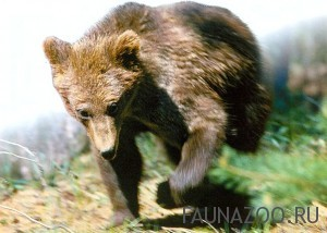Какие хищники живут в наших лесах?