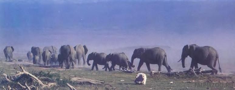 Дальние переходы слонов