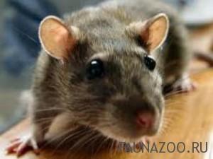 Крысы и мыши – на заре эволюции млекопитающих