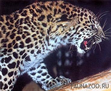 Чем отличается тигр и леопард?