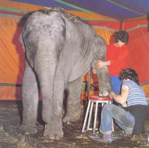 Какие у слона ноги?