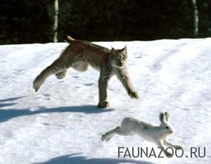 Как рысь охотится?