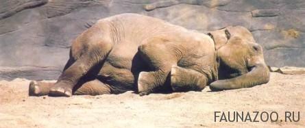 Спящий азиатский слон