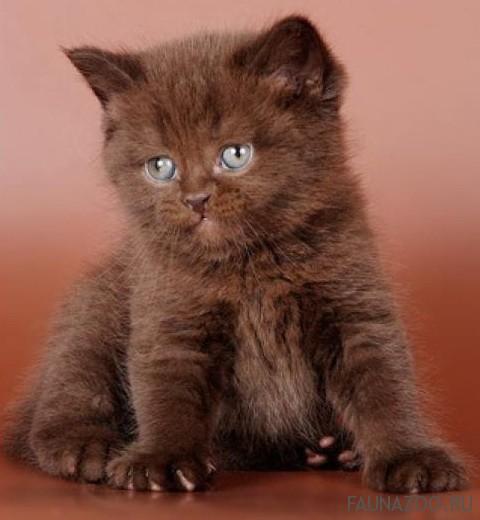 Британские котята окрасы