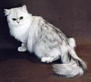 Персидские кошки шиншиллы