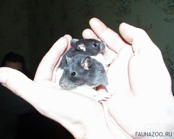 Приучение декоративных крысят к рукам