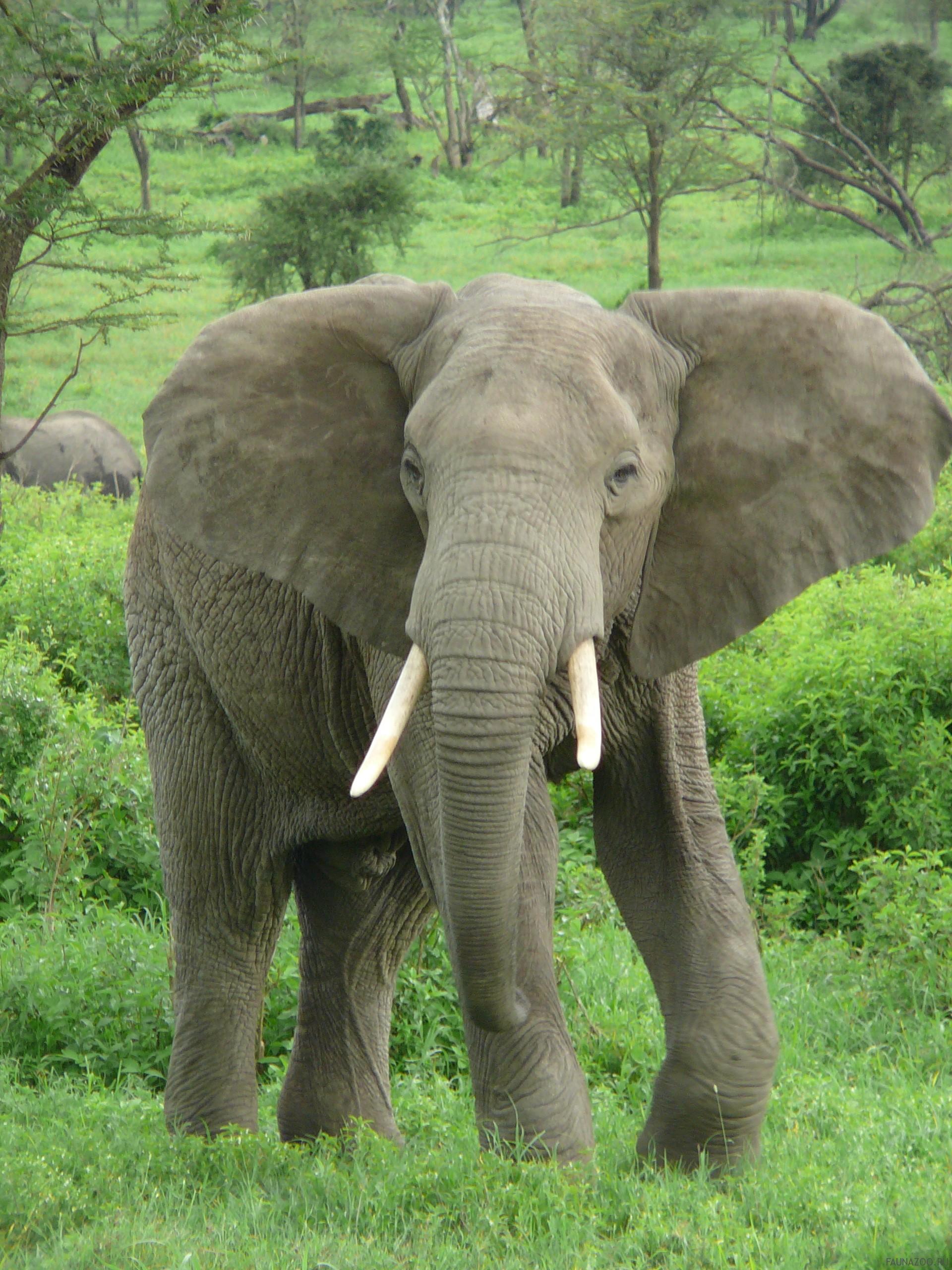 Слоны в опасности
