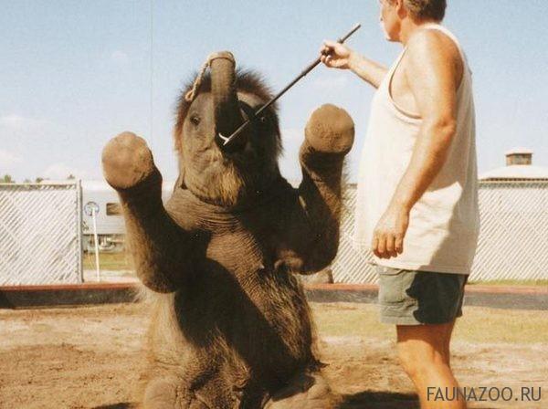 дрессировка слонов