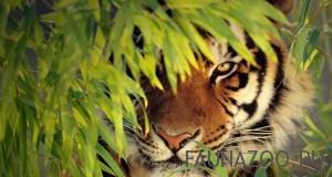 Как прячется тигр?