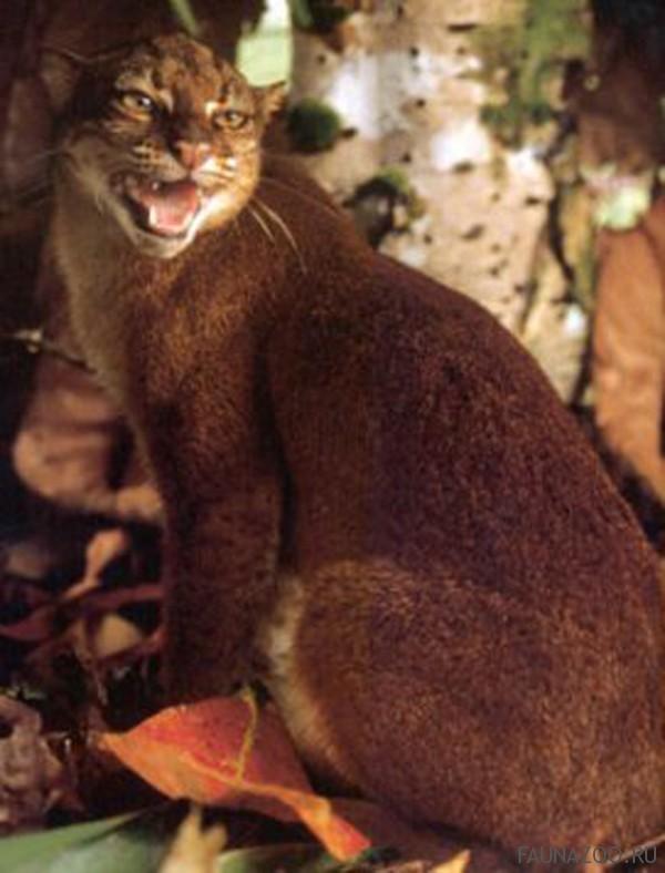 Калимантанская кошка