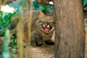 Пампасская травяная кошка