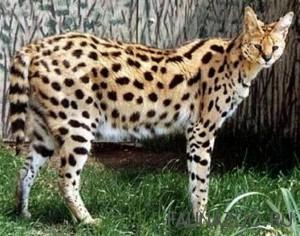Сервал, кустарниковая кошка