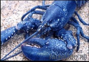 Синий омар