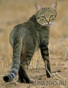 Степной кот (степная кошка)