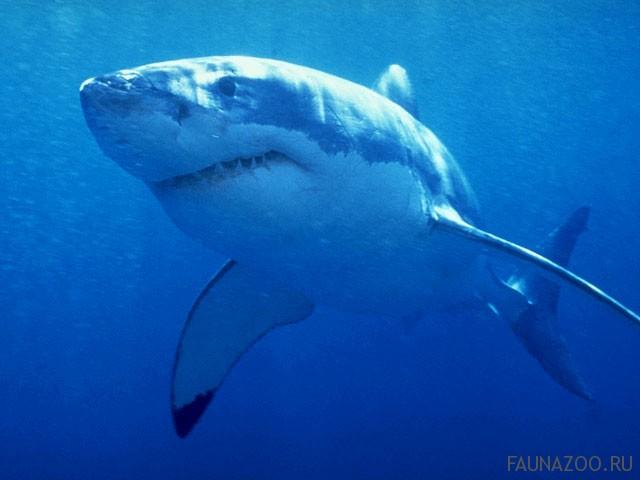 Почему некоторые акулы умрут, если перестанут плавать?