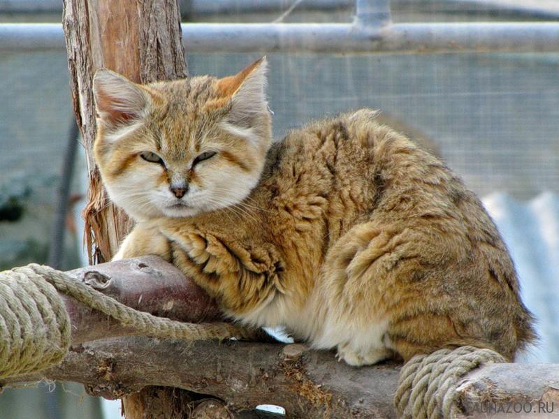 Бархатная кошка