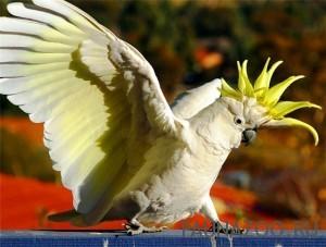 Какаду желтохохлый