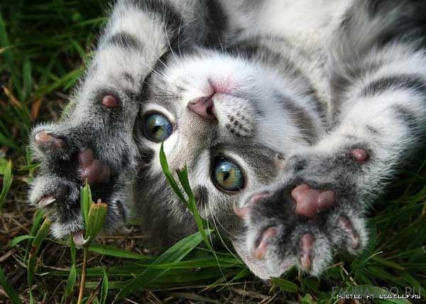 Как мурлычут кошки