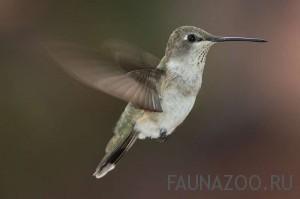 Почему колибри может летать в обоих направлениях - и вперед, и назад?