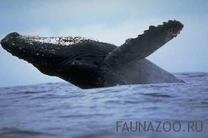Действительно ли киты поют?