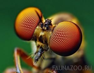 Сколько глаз у мухи?