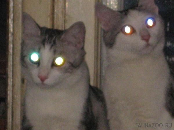 Почему глаза кошки светятся в темноте?