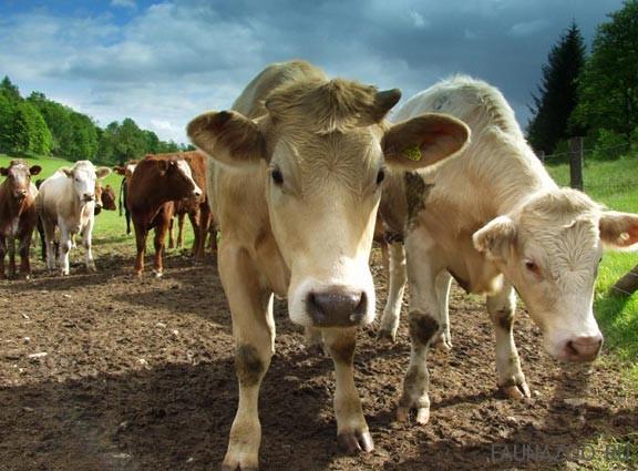 коровы переваривают пищу
