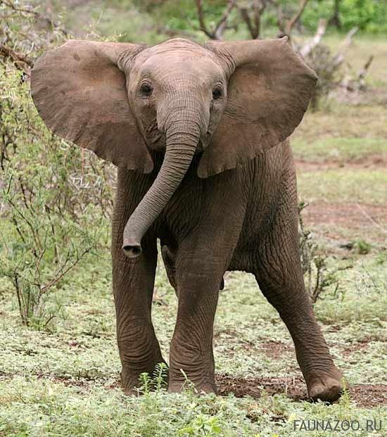 Почему у слонов такие большие уши?