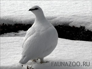 Куропатка белая
