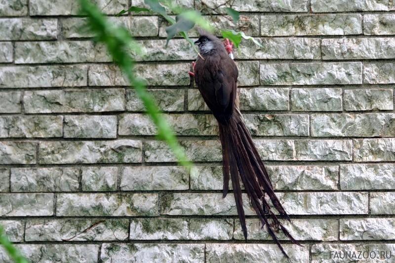 Красноспинная птица-мышь