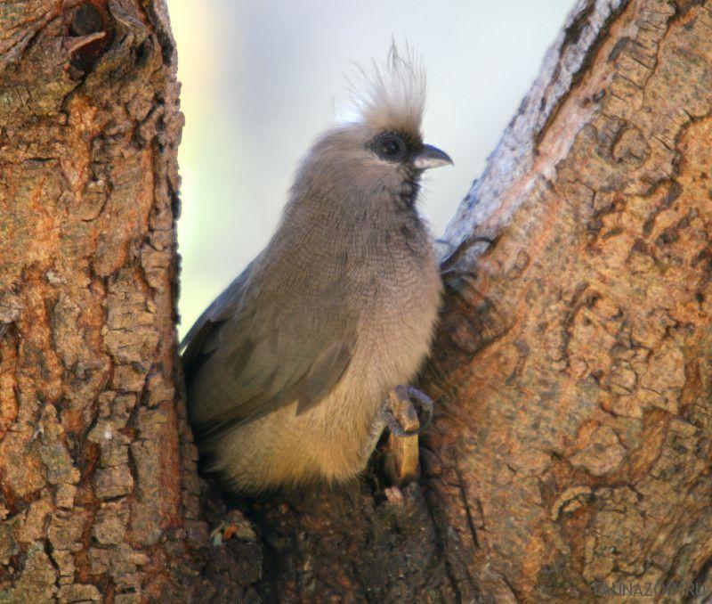 Птица-мышь бурокрылая