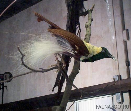 Райская птица императорская