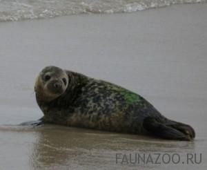 Серые тюлени видео