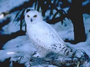 Сова белая (полярная)