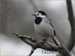 Трясогузка белая