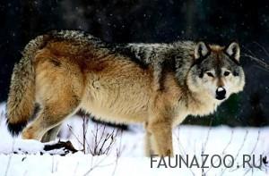 Фауна Северной Америки