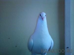 Продажа голубей в Москве
