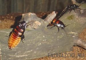 Чем жук отличается от таракана