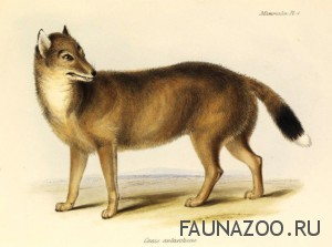 Лисица фолклендская