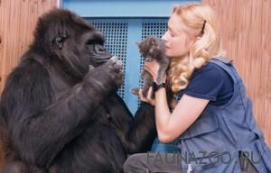 Говорящая горилла по имени Коко