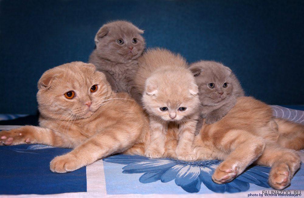 А что если свести шотландскую кошечку с британским котом