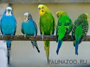 Заводим попугайчика дома
