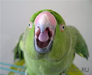 Почему попугайчики часто срыгивают корм