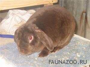 Самый ручной декоративный кролик – вислоухий кролик-баран